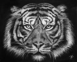 Tiger in charcoal by jacqui-kate