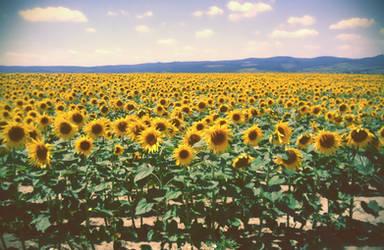 Sunflowers by Zoroo