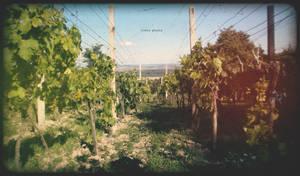 Wine grows here by Zoroo