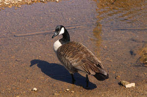 Day at the Pond: Canadian Goose