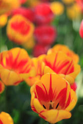 Hyline Orchard Tulips by deke8706