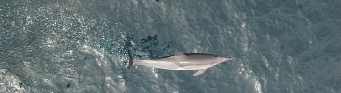 Dolphin - 02 by skippern