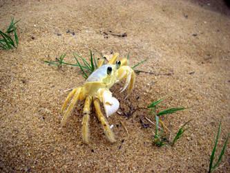Sand Crab by skippern