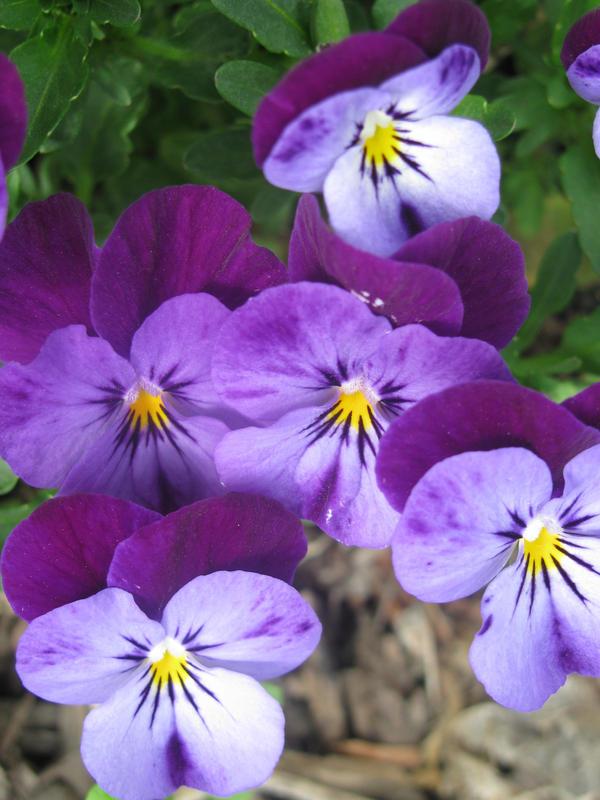 Violets V V V by Himmelmeere