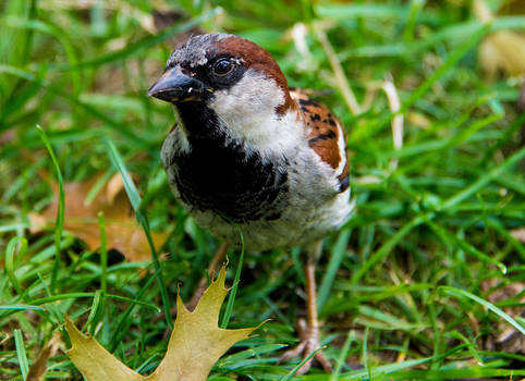Sparrow, Central Park, New York City
