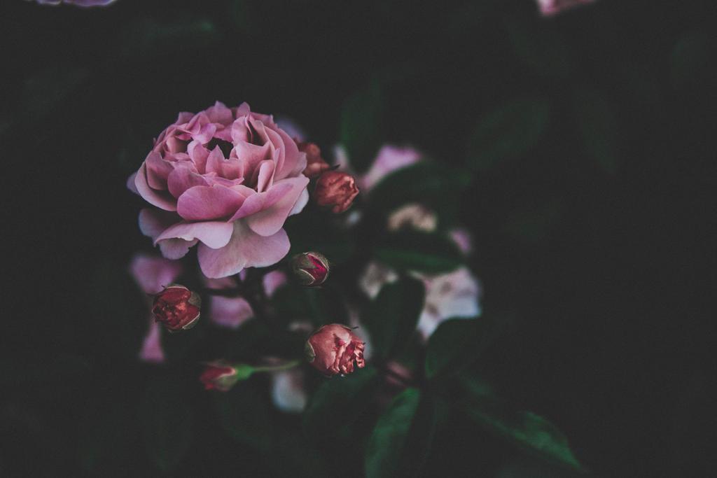 Roses #2 by Ikiwamoonart