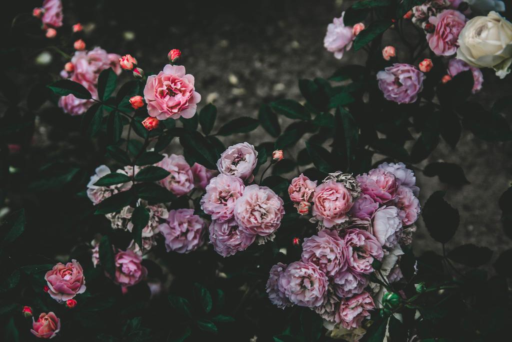 Roses #12 by Ikiwamoonart