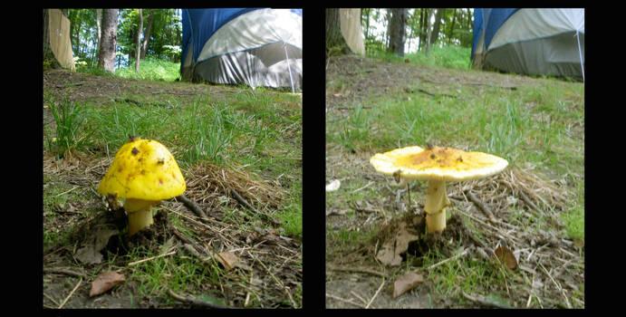 Mushroom diptych