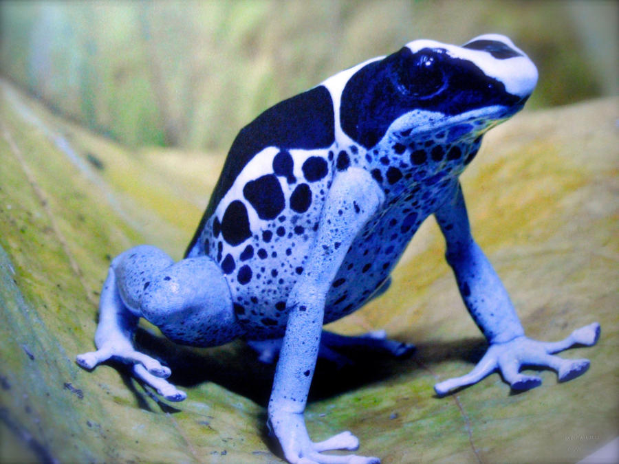 Cobalt Frog by SeaPlume