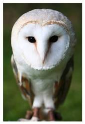 Owl by LaS-BR