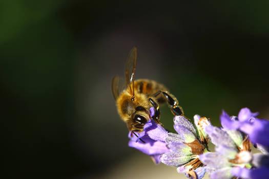 Lavanda Bee