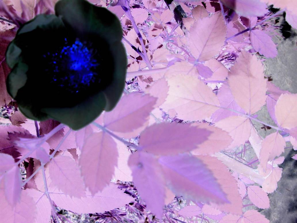 black flower by bridgette