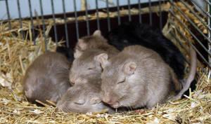 Sleepy Gerbil Family by KlomZy
