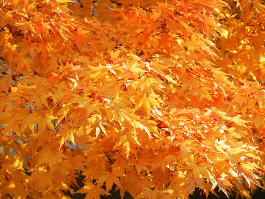 Orange - Page 3 Autumn_gold_by_kdmb-d4fe8l0