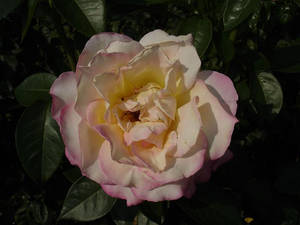 White Rose Dipped In Pink