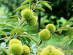 Chestnut tree 1