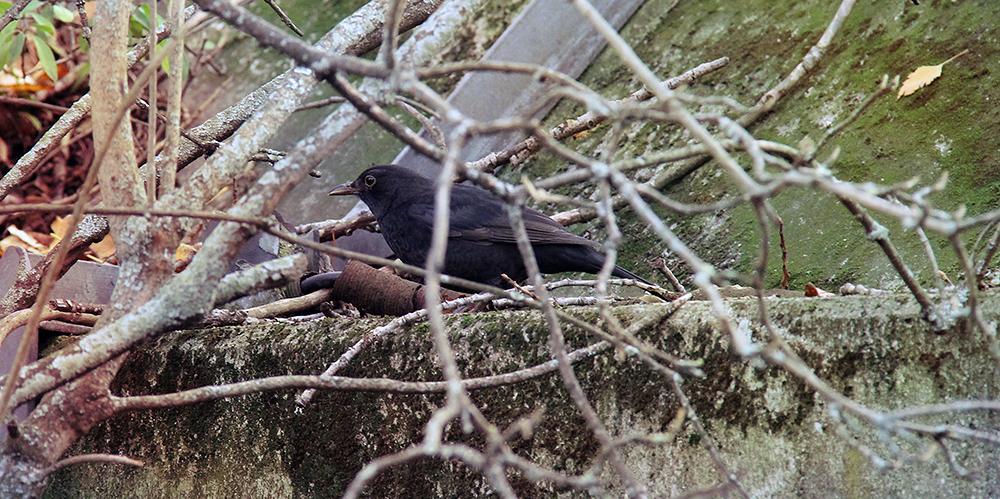 Blackbird by Laoki