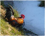 Rooster , drinking.