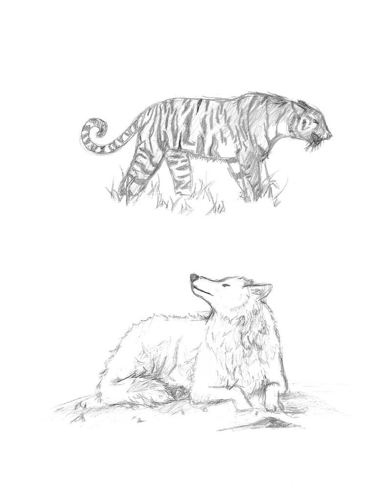 Tiger and wolf sketches by dreamerseeker
