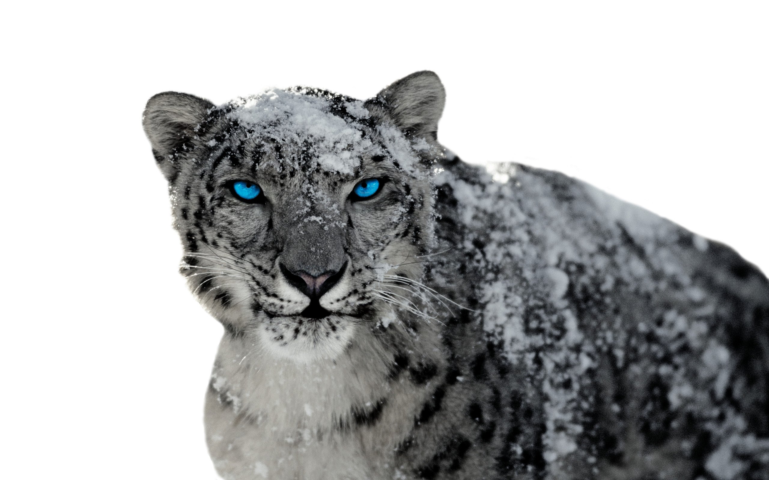 Amazing Wallpaper Mac Snow Leopard - snow_leopard_3_by_bumblebritches57  Gallery_28180.jpg
