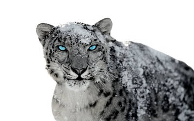 Snow Leopard 2 by BumbleBritches57