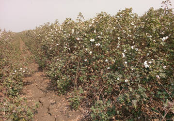 cotton field  by aksheus