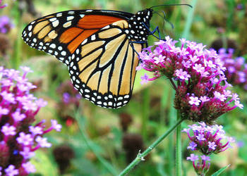 Monarch Butterfly 0 by ButterflysandGlitter