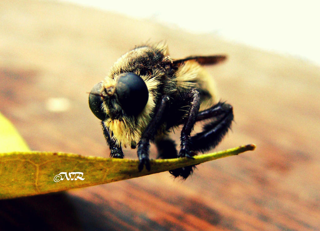 Robber Fly by igarcia
