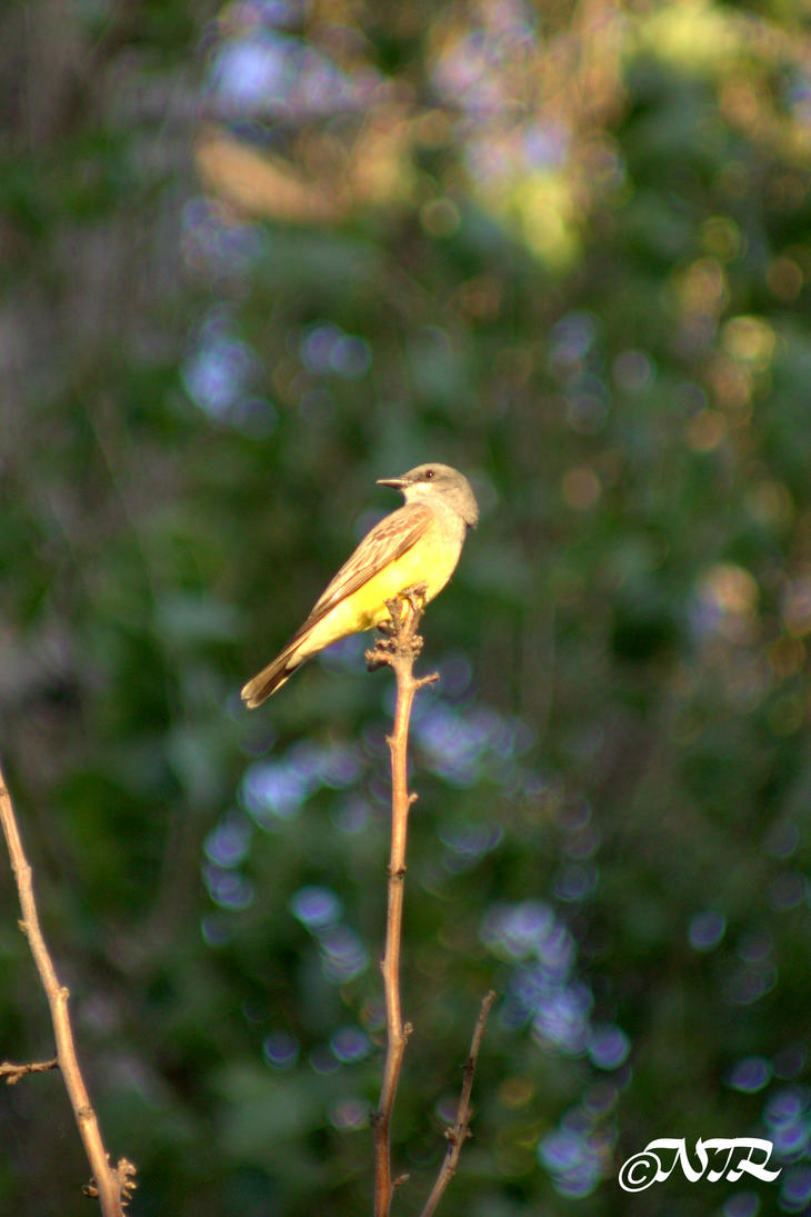 Cassin's Kingbird by igarcia