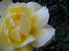 Yellow Rose by TheREALemoCloud
