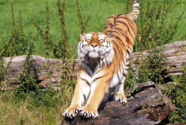 Tiger Stretching by Riverbrook on DeviantArt