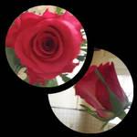 Rose by Kyara007