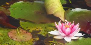 Lotus by Kyara007