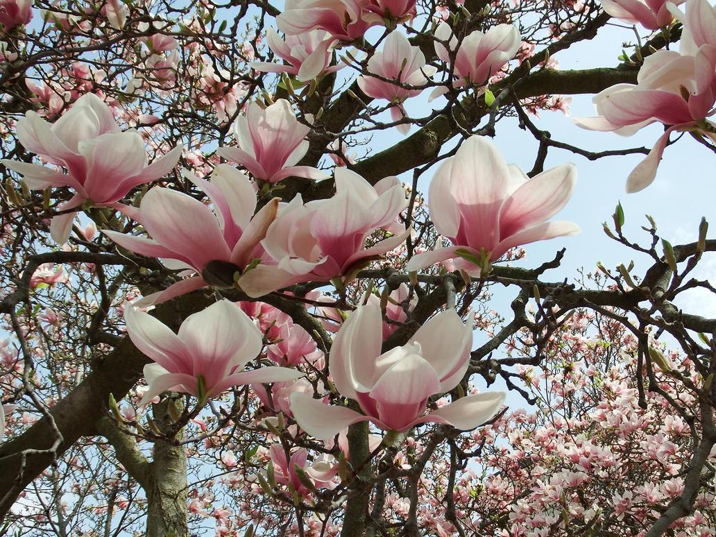 Tulip Tree by Crash-Box