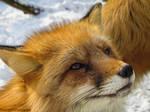 Fox VI.