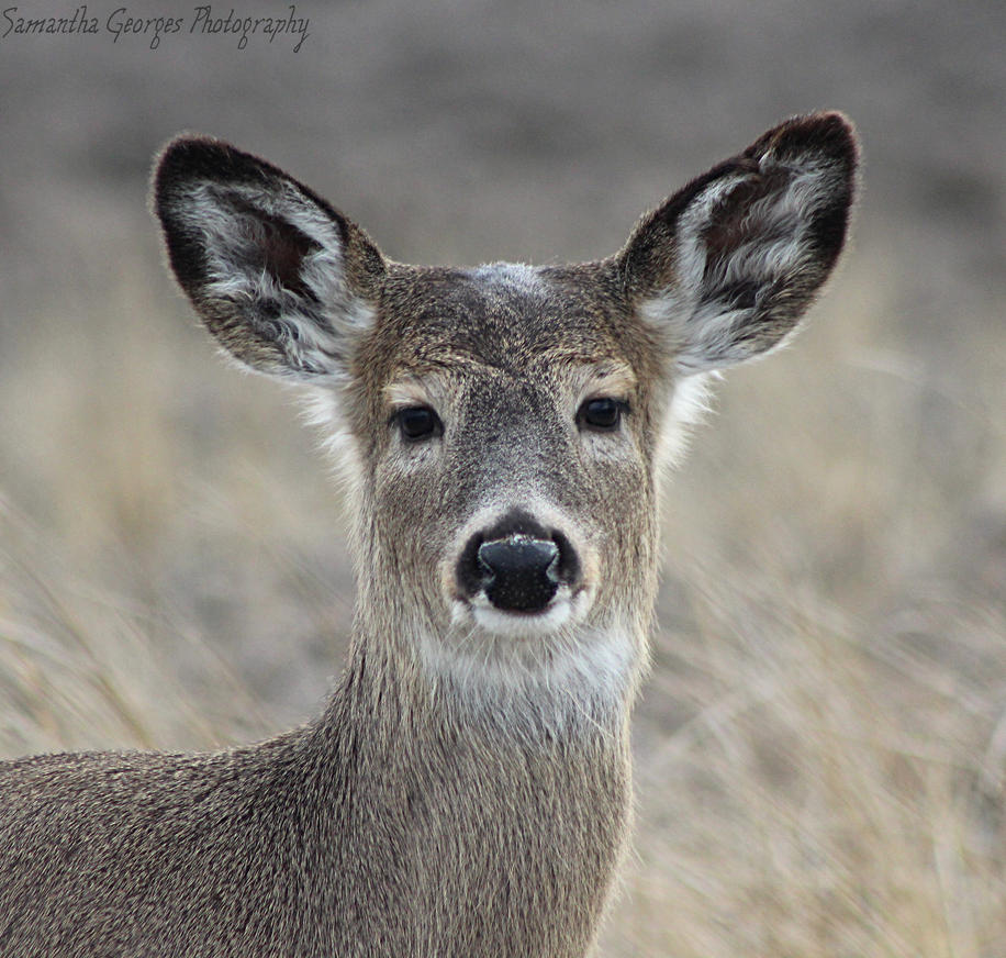 Doe Head by SGeorgesPhotography