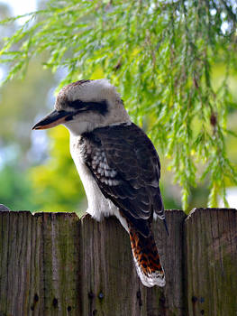A Laughing Bird on our fence