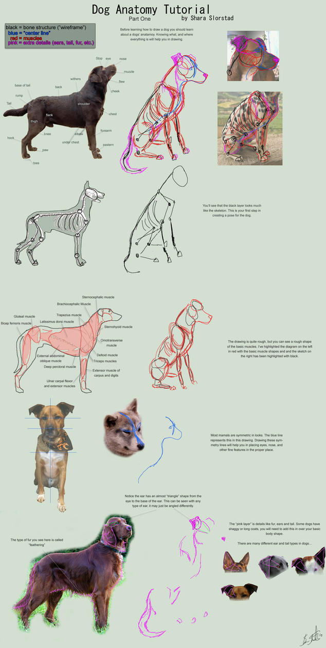 Dog Anatomy Tutorial 1 by SleepingDeadGirl on DeviantArt