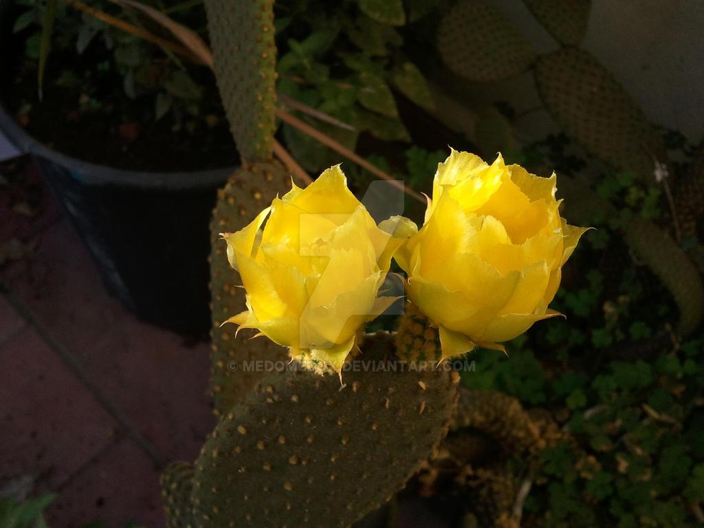 Yellow Cactus Flower By Medomedox On Deviantart
