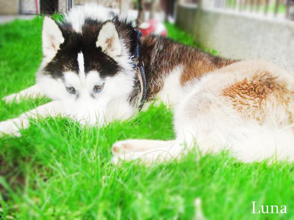 Siberian_Husky_by_Nessy01.png