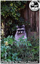 Rocket the raccoon payed us a visit today :)