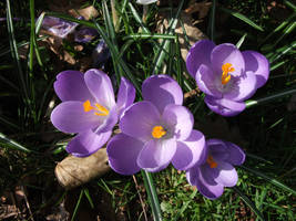 Purple Crocus by nix54