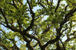 English Oak (Quercus robur) by KelVictoria