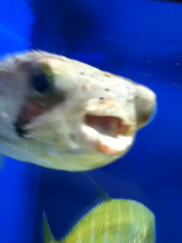 Puffer-fish is happy by ZeitlosLotus