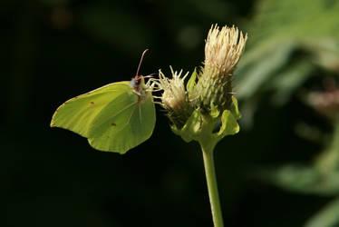Bieszczadzkie motyle I.