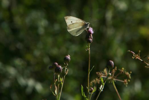 Bieszczadzkie motyle II.