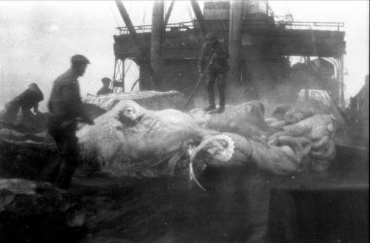 ICSU Archives - giant octopuses 1924