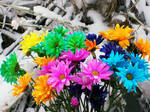 Rainbow Winter Daisies