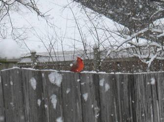 Winter Cardinal by KuraiTsuki