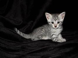 Mau kitten by wl551